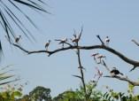 tree of Spoonbills