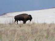 D&D_20140716_051720 bison