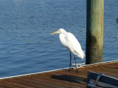Great Egret on the dock