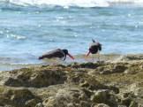 American Oystercatcher, pair