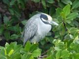 Yellow-crowned Night Heron, profile