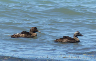 scoters of some variety