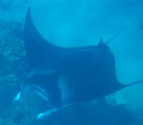 Manta at the cleaning station