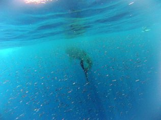 Whale Shark and bait fish