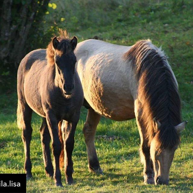 Hrlig hstbild basjkir horsesmadeinsweden svehast svenskahstavelsfrbundet svenskabasjkirhstfreningen