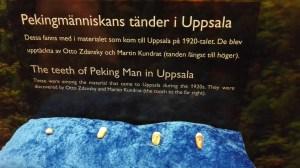 Pekingmänniskans tänder på Evolutionsbiologiska muséet i Uppsala.