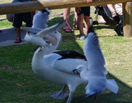 Sea gull vs pelican
