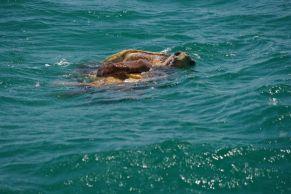 Loggerhead Turtle...Mating Season