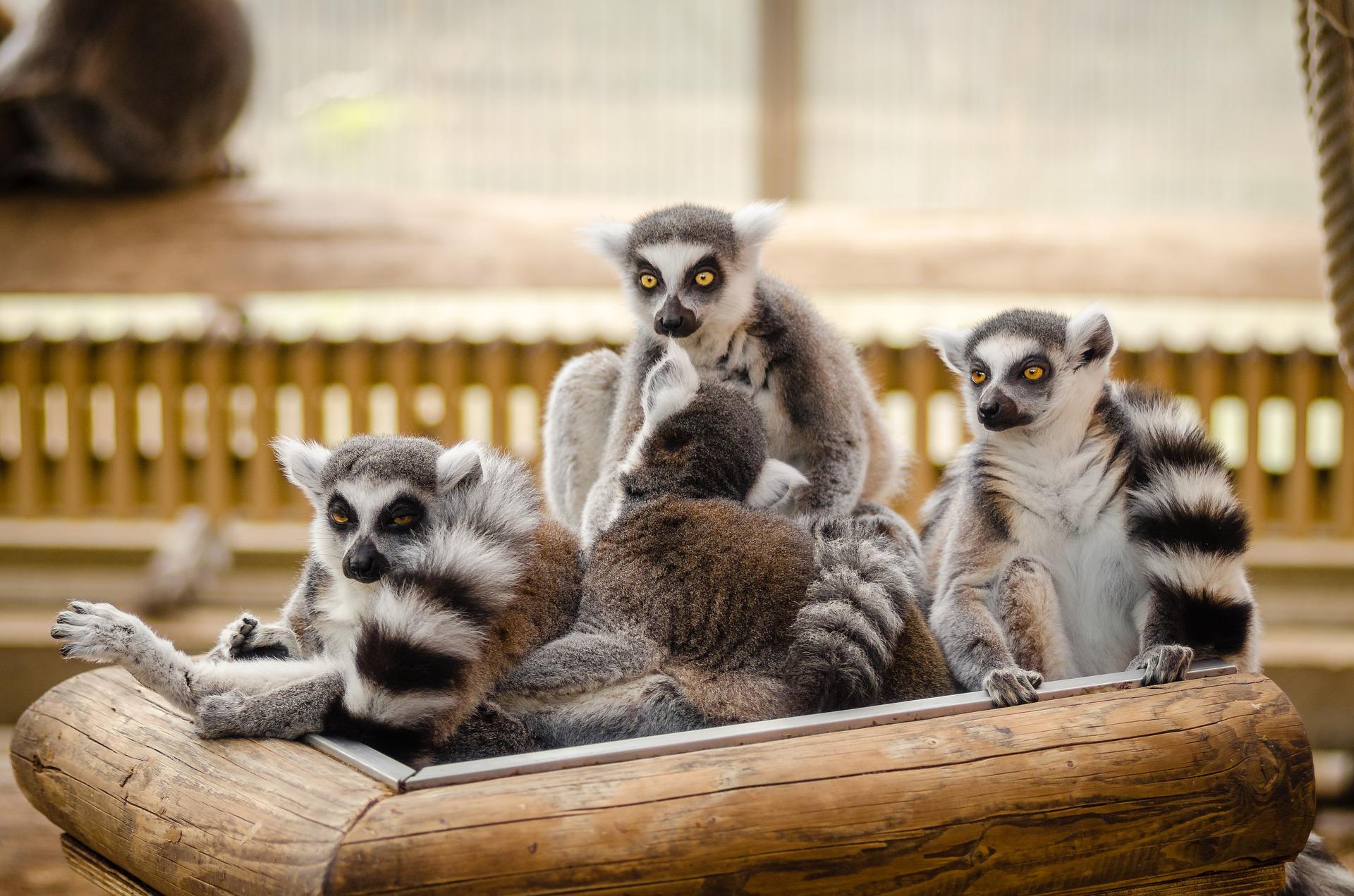 Madagascar lemurer reseinspiration