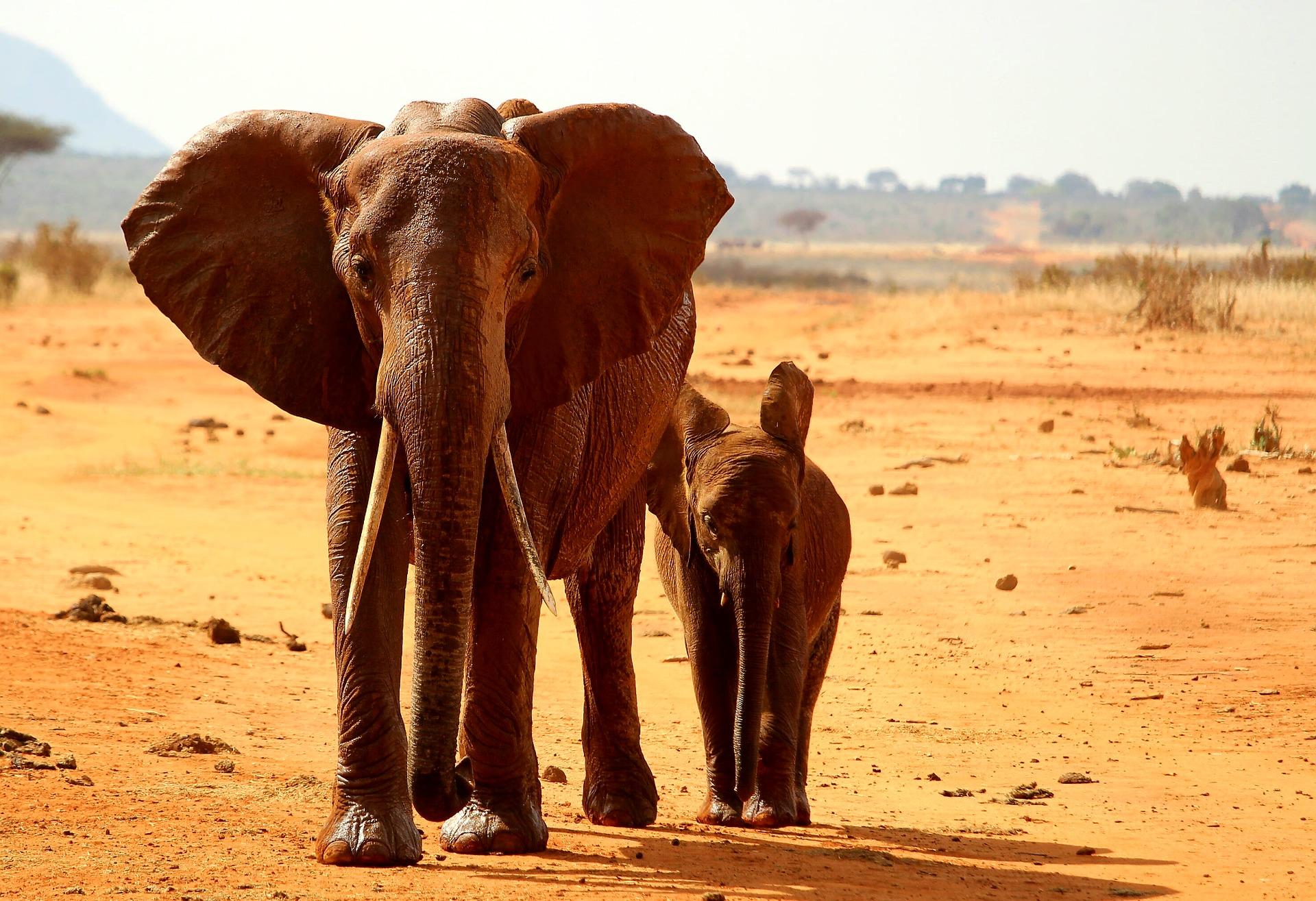 Elefant Afrikas Djurliv