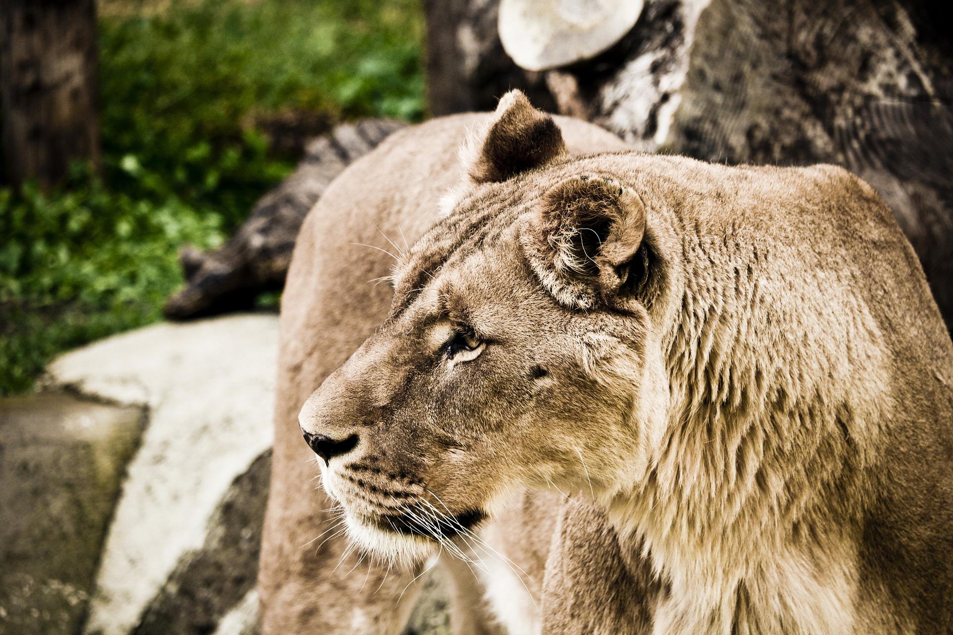 Lejon Afrikas Djurliv