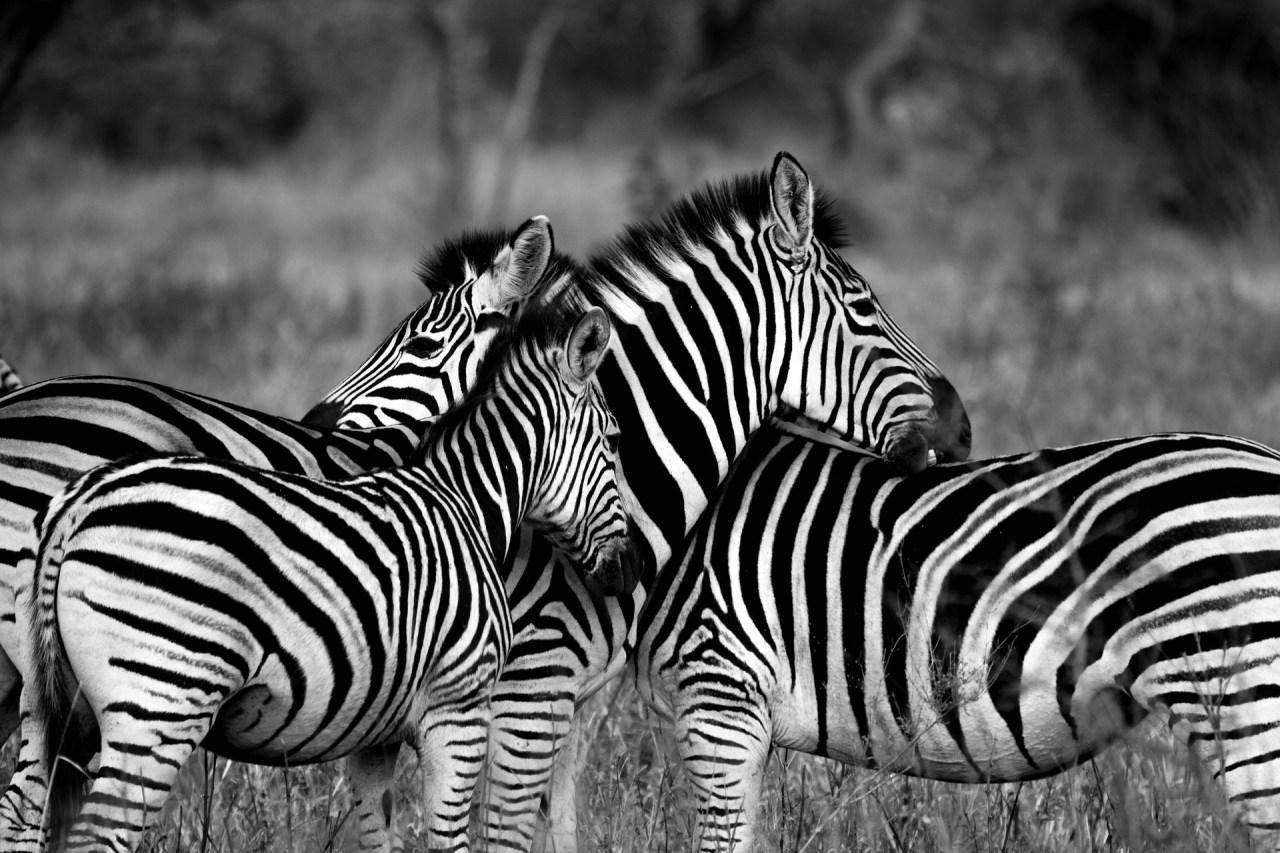 Zebror Afrikas Djurliv