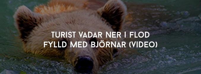 Turist vadar ner i flod fylld med björnar (Video)