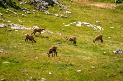 Wild goats eating at Donja Alisnica Valley
