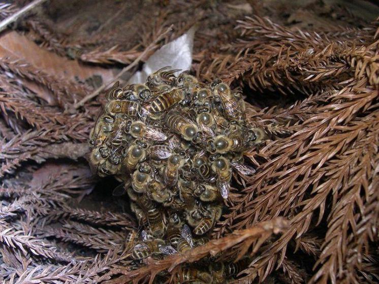 klubko včel