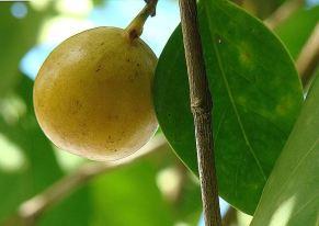plod stromu