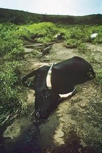 Mrtvá kráva po úniku plynu vroce 1986