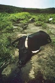 Mrtvá kráva po úniku plynu v roce 1986
