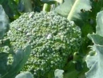 брокколи: полезные свойства и противопоказания