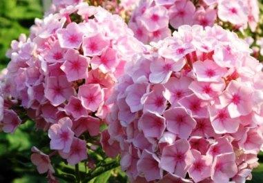 цветы фото флоксы многолетние