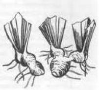 клубни ирисов