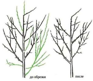 Обрезка деревьев: осенью