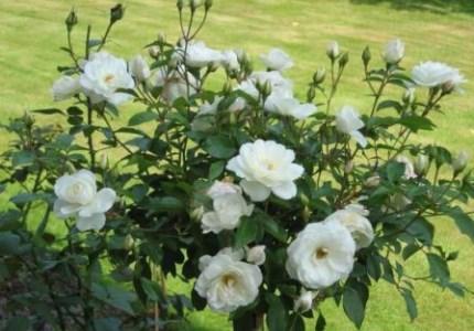 Роза флорибунда что это такое