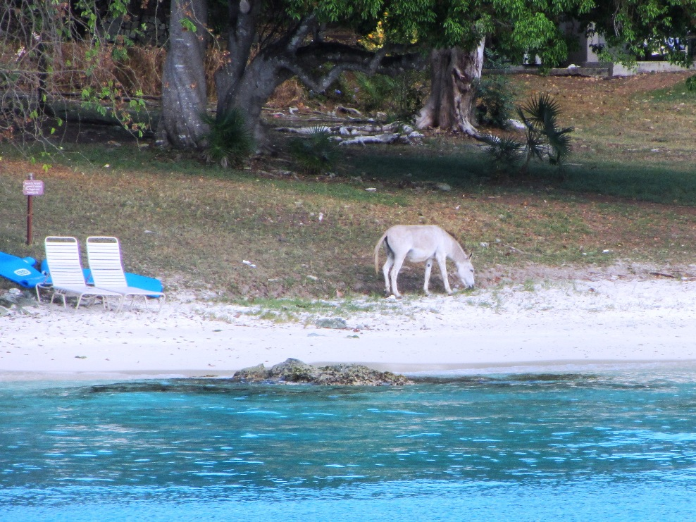 Donkey On Caneel Beach
