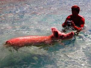 Swiming pigs