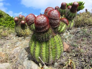 turks & Caicos travel guide Turkhead Cactus
