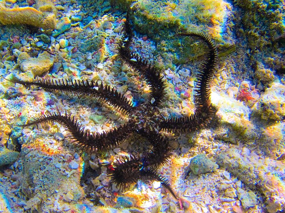 Brittle Starfish Crawling