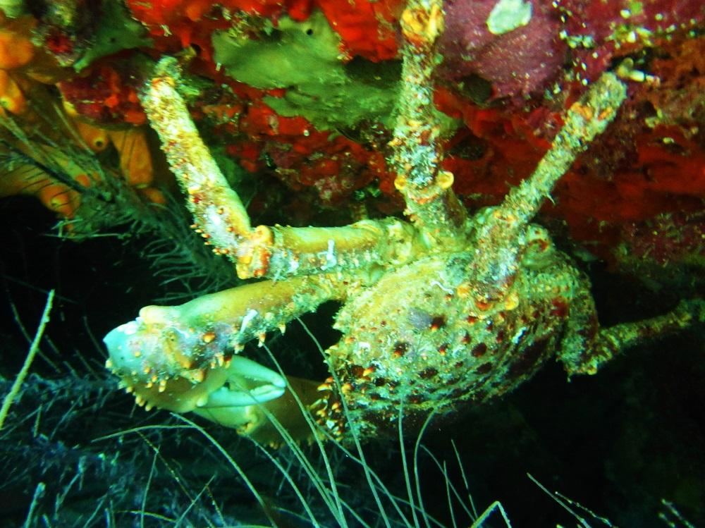 Hanging spider crab