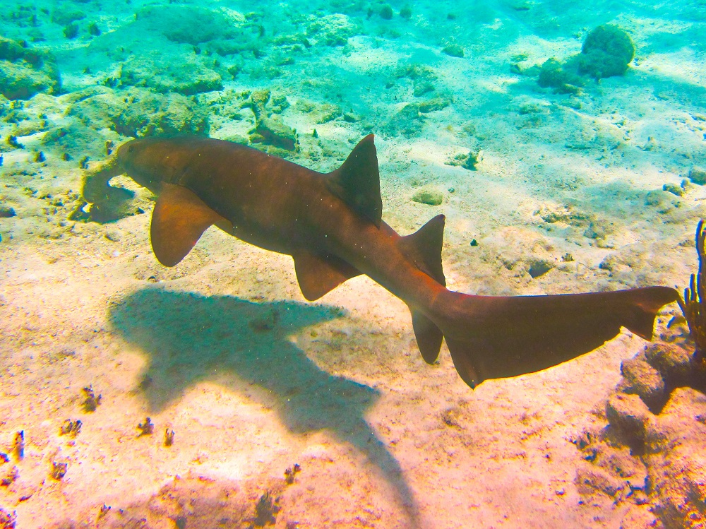 Nurse Shark With A Shadow
