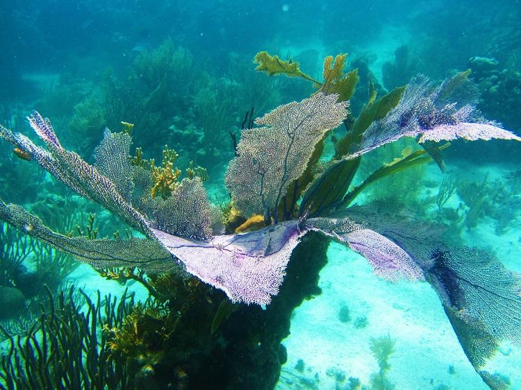 Underwater - Sea Fan Looking Like An Iris