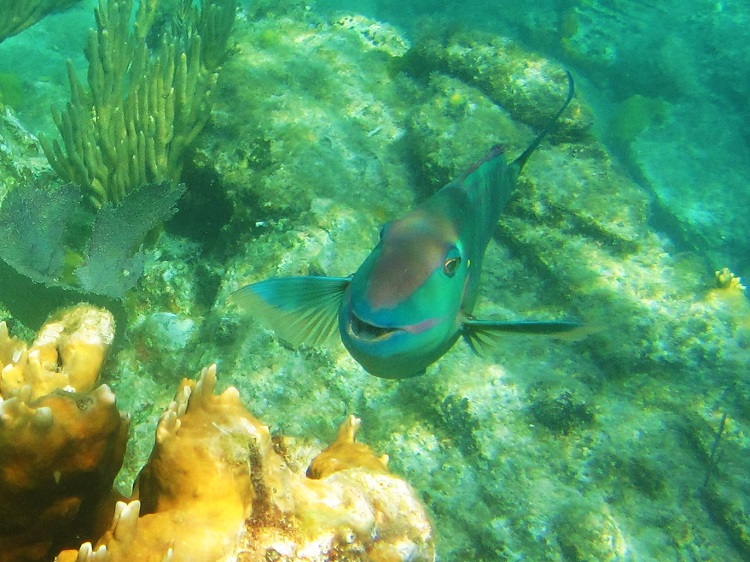 Parrot Fish Smiling