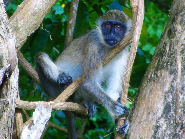 Green back monkey on Nevis