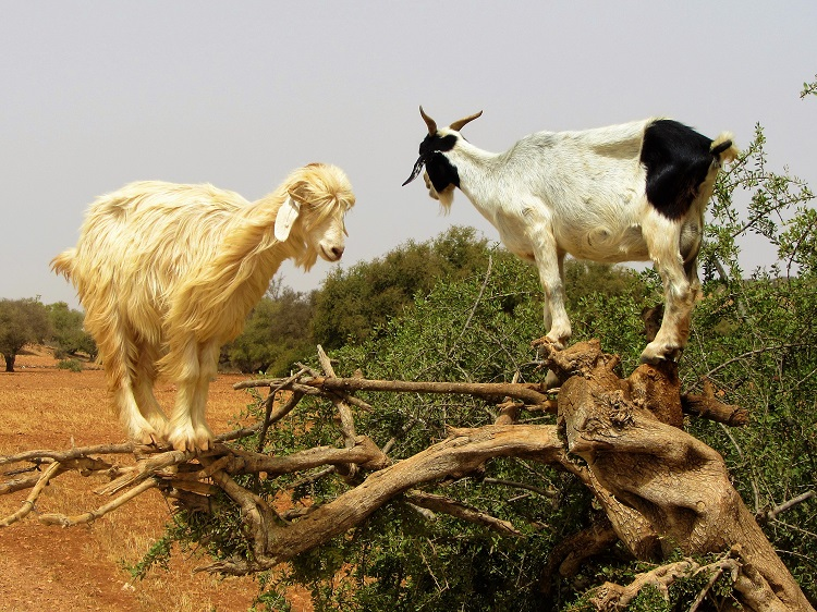 Morocco - Essaouira - Goats In A Tree