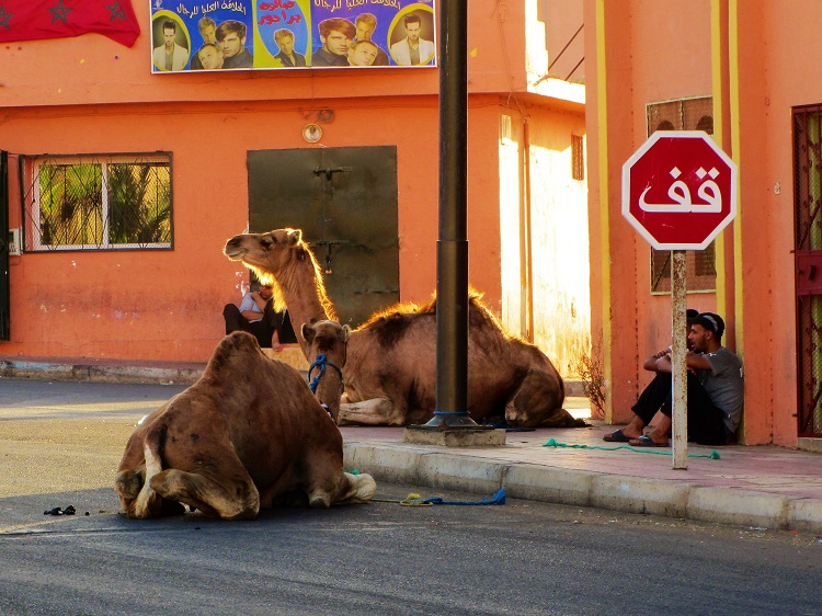 Morocco - Laayoune Camels
