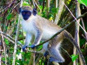 St Kitts & Nevis travel guide - Monkey