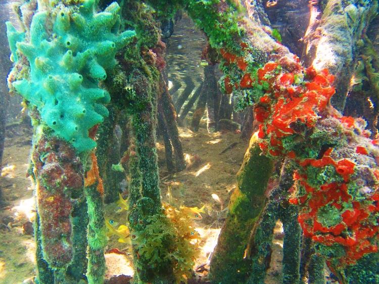 Underwater - Mangroves - Sponges