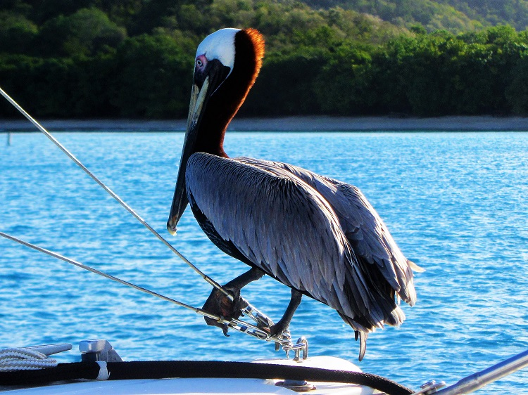 Pelican On Lifeline