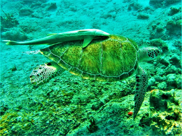 Remora stuck to a turtle