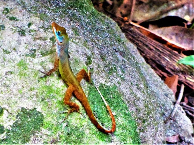 Lizard in the botantical garden