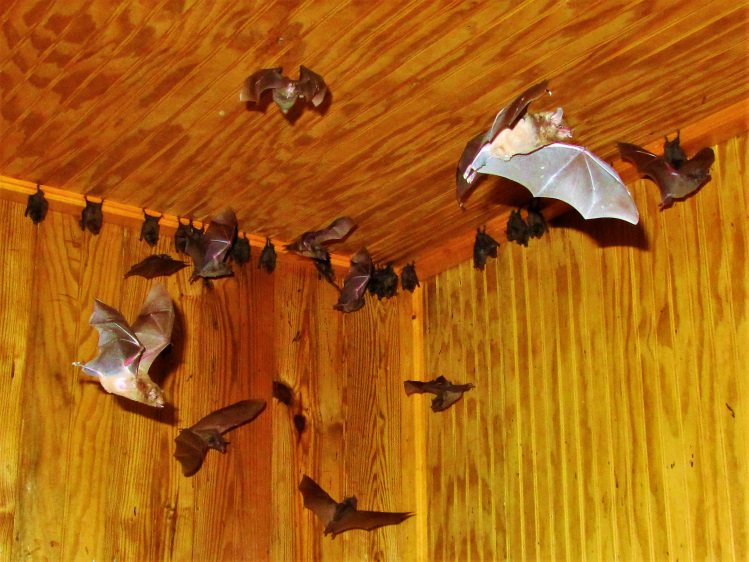 Bat Attack At Little Tobago