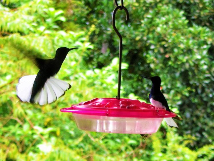 Hummingbirds at Asa Wright center
