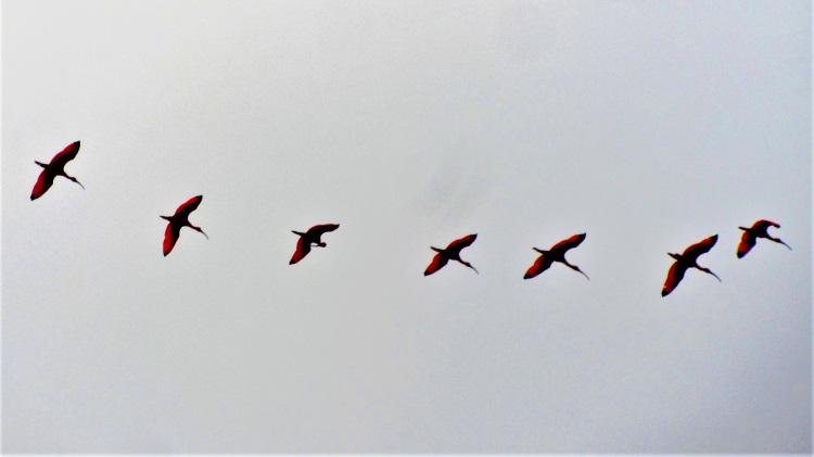 Scarlet Ibis in Trinidad