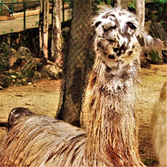 Lama at the Trinidad zoo