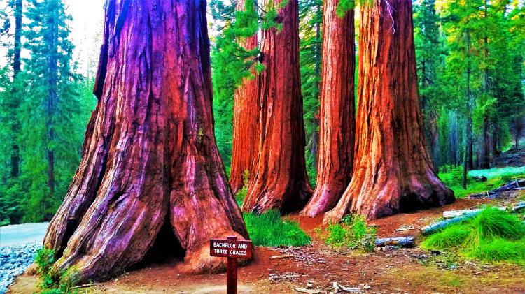 Yosemite - Mariposa Grove POTD
