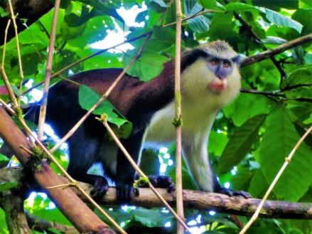 Grenada - mona Monkeys 3