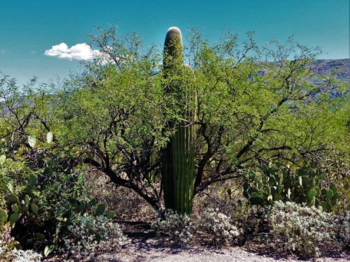 Saguaro National Park 1